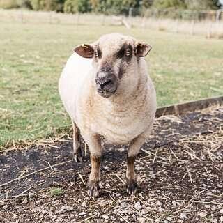 Ewe-nique Designs - Team Member - Lil'Man the sheep